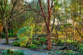 THE PICTON GARDEN AND OLD COURT NURSERIES, WORCESTERSHIRE: GRAVEL PATH PAST BAMBOOS AND ACER GRISEUM IN FEBRUARY. SHADE, SHADY
