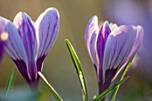 THE PICTON GARDEN AND OLD COURT NURSERIES, WORCESTERSHIRE: CLOSE UP OF PURPLE AND CREAM FLOWERS OF CROCUS PICKWICK. STRIPY, STRIPES, STRIPED, BULBS, SPRING, FLOWERS, FLOWERING