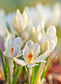 THE PICTON GARDEN AND OLD COURT NURSERIES, WORCESTERSHIRE: CLOSE UP OF WHITE, CREAM, PURPLE FLOWERS OF CROCUS TOMMASINIANUS ALBUS. BULBS