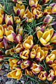 THE PICTON GARDEN AND OLD COURT NURSERIES, WORCESTERSHIRE: CLOSE UP OF ORANGE, YELLOW, BRONZE FLOWERS OF CROCUS ANGUSTIFOLIUS BRONZE FORM. BULBS, FLOWERING, BLOOMS, SPRING