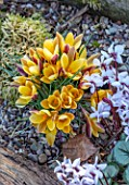 THE PICTON GARDEN AND OLD COURT NURSERIES, WORCESTERSHIRE: CLOSE UP OF ORANGE, YELLOW, BRONZE FLOWERS OF CROCUS ANGUSTIFOLIUS BRONZE FORM AND CYCLAMEN COUM MAURICE DRYDEN