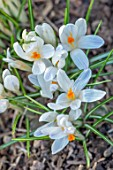 THE PICTON GARDEN AND OLD COURT NURSERIES, WORCESTERSHIRE: CLOSE UP OF WHITE FLOWERS OF CROCUS TOMMASINIANUS ALBUS. FLOWERING, BULBS, ROCKERY, SPRING, BLOOMS, BLOOMING