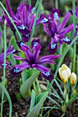 THE PICTON GARDEN AND OLD COURT NURSERIES, WORCESTERSHIRE: CLOSE UP OF PURPLE FLOWERS OF IRIS RETICULATA PAULINE. BULBS, FLOWERING, SPRING