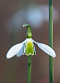 THE PICTON GARDEN AND OLD COURT NURSERIES, WORCESTERSHIRE: CLOSE UP OF WHITE AND GREEN FLOWER OF SNOWDROP - GALANTHUS SEAGULL, SNOWDROPS, FLOWERS, WINTER, BULBS