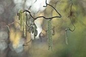 THE PICTON GARDEN AND OLD COURT NURSERIES, WORCESTERSHIRE: CATKINS OF CORYLUS AVELLANA CONTORTA, FEBRUARY, DECIDUOUS, HAZEL, CORKSCREW, TWISTED, CATKINS, SHRUBS, TWISTED