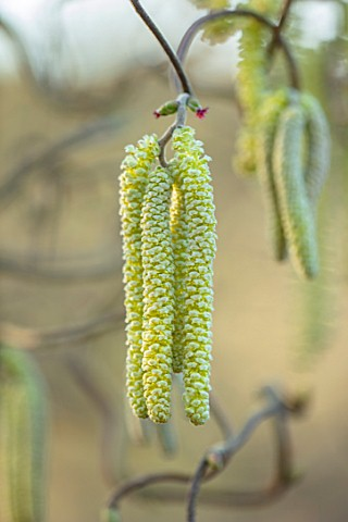 THE_PICTON_GARDEN_AND_OLD_COURT_NURSERIES_WORCESTERSHIRE_CATKINS_OF_CORYLUS_AVELLANA_CONTORTA_FEBRUA