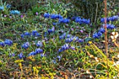 THE PICTON GARDEN AND OLD COURT NURSERIES, WORCESTERSHIRE: BLUE FLOWERS OF IRIS RETICULATA JOYCE, IRISES, BULBS, FLOWERING, BLOOMING, FEBRUARY