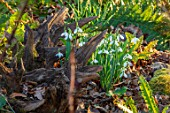 THE PICTON GARDEN AND OLD COURT NURSERIES, WORCESTERSHIRE: STUMPERY, STUMP, WOOD, SNOWDROPS, GALANTHUS MELANIE BROUGHTON. SHADE. SHADY, FEBRUARY