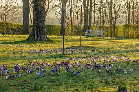 MORTON_HALL_WORCESTERSHIRE_CROCUS_IN_THE_PARKLAND_MEADOW_WITH_WOODEN_BENCH_SEAT_BEHIND_CROCUSES_CROC