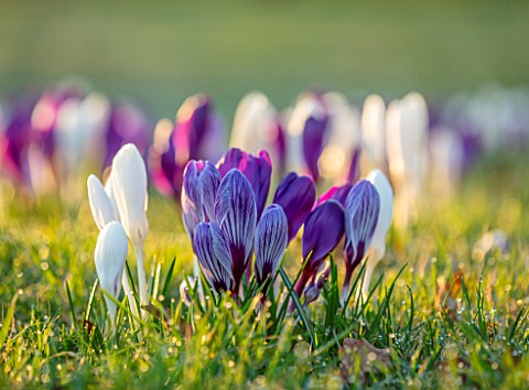 MORTON_HALL_WORCESTERSHIRE_CROCUS_IN_THE_PARKLAND_MEADOW_CROCUSES_PICKWICK_FLOWER_RECORD_JOAN_OF_ARC