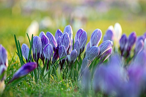 MORTON_HALL_WORCESTERSHIRE_CROCUS_PICKWICK_IN_THE_PARKLAND_MEADOW_CROCUSES_CROCI_FEBRUARY_SUNRISE_ME