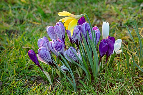 MORTON_HALL_WORCESTERSHIRE_CROCUS_PICKWICK_FLOWER_RECORD_JOAN_OF_ARC_AND_NARCISSUS_IN_THE_PARKLAND_M