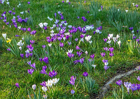 MORTON_HALL_WORCESTERSHIRE_WHITE_AND_PURPLE_CROCUS_IN_THE_PARKLAND_MEADOW_CROCUSES_CROCI_FEBRUARY_SU