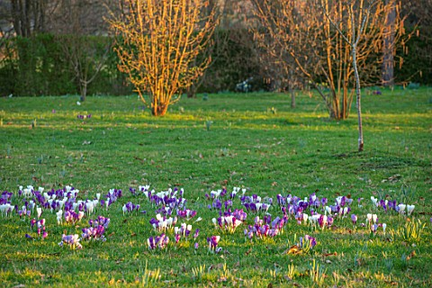MORTON_HALL_WORCESTERSHIRE_WHITE_AND_PURPLE_CROCUS_IN_THE_PARKLAND_MEADOW_CROCUSES_CROCI_FEBRUARY_ME