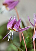 TWELVE NUNNS, LINCOLNSHIRE: CLOSE UP PORTRAIT OF PINK FLOWERS OF DOGS TOOTH VIOLET, ERYTHRONIUM DENS CANIS OLD ABERDEEN, PERENNIALS, SPRING, FLOWERING, BLOOMS, WOODLAND, SHADE