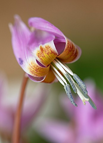 TWELVE_NUNNS_LINCOLNSHIRE_CLOSE_UP_PORTRAIT_OF_PINK_FLOWERS_OF_DOGS_TOOTH_VIOLET_ERYTHRONIUM_DENS_CA