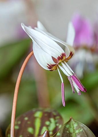 TWELVE_NUNNS_LINCOLNSHIRE_CLOSE_UP_PORTRAIT_OF_WHITE_FLOWERS_OF_DOGS_TOOTH_VIOLET_ERYTHRONIUM_DENS_C