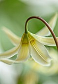 TWELVE NUNNS: CLOSE UP PORTRAIT OF DOGS TOOTH VIOLET - ERYTHRONIUM OREGONUM, ADDERS TONGUE, WHITE, YELLOW, SPRING, FLOWERS, BLOOMS, WOODLAND, BULBS