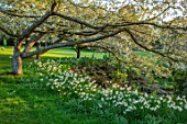 LITTLE MALVERN COURT, WORCESTERSHIRE: DAFFODILS IN LAWN, NARCISSUS TRESAMBLE, PRUNUS SHIROTAE, SPRING, BLOSSOM, FLOWERING, WHITE, TREES, SHRUBS