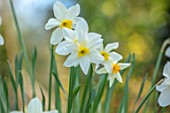 THE PICTON GARDEN AND OLD COURT NURSERIES, WORCESTERSHIRE: PLANT PORTRAIT OF YELLOW, WHITE FLOWERS OF DAFFODIL, NARCISSUS SEAGULL. BULBS, SPRING, FLOWERING