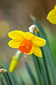 THE PICTON GARDEN AND OLD COURT NURSERIES, WORCESTERSHIRE: PLANT PORTRAIT OF YELLOW, ORANGE FLOWERS OF DAFFODIL, NARCISSUS COPPER BOWL. BULBS, SPRING, FLOWERING