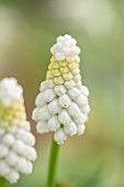 THE PICTON GARDEN AND OLD COURT NURSERIES, WORCESTERSHIRE: PLANT PORTRAIT OF WHITE, CREAM FLOWERS OF GRAPE HYACINTH, MUSCARI ARMENIACUM SIBERIAN TIGER, BULBS, SPRING