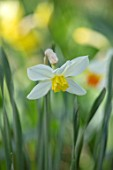 THE PICTON GARDEN AND OLD COURT NURSERIES, WORCESTERSHIRE: PLANT PORTRAIT OF YELLOW, WHITE FLOWERS OF DAFFODIL, NARCISSUS QUEEN OF THE NORTH, 1908, BULBS, SPRING, FLOWERING