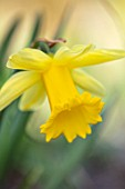 THE PICTON GARDEN AND OLD COURT NURSERIES, WORCESTERSHIRE: PLANT PORTRAIT OF YELLOW FLOWERS OF DAFFODIL, NARCISSUS LADY MARGARET BOSCOWAN, 1898, BULBS, SPRING, FLOWERING