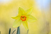 THE PICTON GARDEN AND OLD COURT NURSERIES, WORCESTERSHIRE: PLANT PORTRAIT OF YELLOW, ORANGE FLOWERS OF DAFFODIL, NARCISSUS BATHS FLAME, BULBS, SPRING, FLOWERING, HEIRLOOM