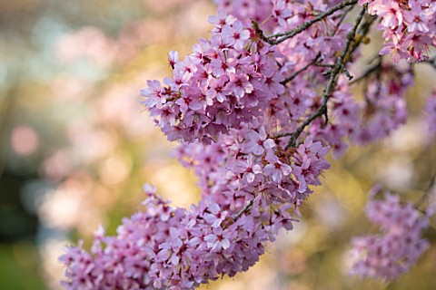 THENFORD_GARDENS__ARBORETUM_NORTHAMPTONSHIRE_PRUNUS_X_INCAM_SHOSAR_BLOSSOMS_SPRING_BLOOMS_PINK_FLOWE