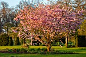THE OLD VICARAGE, WORMLEIGHTON, WARWICKSHIRE: LAWN, PINK FLOWERS OF PRUNUS ACCOLADE, CHERRIES, EVENING, LIGHT, TREES, BLOSSOM, SPRING