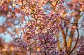 THE OLD VICARAGE, WORMLEIGHTON, WARWICKSHIRE: PINK FLOWERS OF PRUNUS ACCOLADE, CHERRIES, EVENING, LIGHT, TREES, BLOSSOM, SPRING