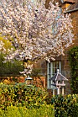 THE OLD VICARAGE, WORMLEIGHTON, WARWICKSHIRE: WHITE FLOWERS OF PRUNUS X HILLIERI SPIRE, CHERRIES, EVENING, LIGHT, TREES, BLOSSOM, SPRING