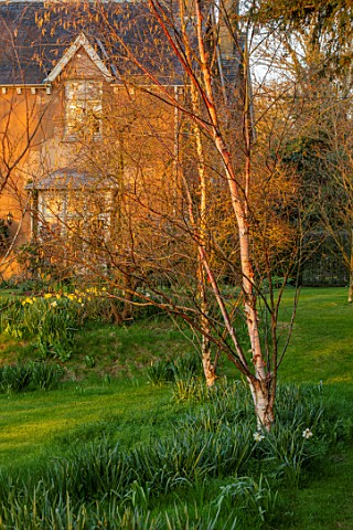 THE_OLD_VICARAGE_WORMLEIGHTON_WARWICKSHIRE_THE_OLD_RECTORY_LAWN_BETULA_BIRCHES_EVENING_LIGHT_SPRING