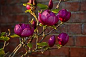 THE OLD VICARAGE, WORMLEIGHTON, WARWICKSHIRE: DARK, PINK FLOWERS OF MAGNOLIA BLACK TULIP, EVENING, LIGHT, SPRING, TREES, BLOOMING, FLOWERING
