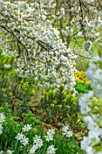 LITTLE MALVERN COURT, WORCESTERSHIRE: SPRING, EUPHORBIA, DAFFODILS, NARCISSUS TRESAMBLE, PRUNUS SHIROTAE, CHERRIES, CHERRY, TREES, APRIL, WHITE, BLOSSOMS, FLOWERS, GREEN, SHADE