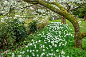 LITTLE MALVERN COURT, WORCESTERSHIRE: SPRING, DAFFODILS, NARCISSUS TRESAMBLE, PRUNUS SHIROTAE, CHERRIES, CHERRY, TREES, APRIL, WHITE, BLOSSOMS, FLOWERS, GREEN, SHADE, SHADY