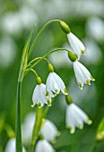 LITTLE MALVERN COURT, WORCESTERSHIRE: PLANT PORTRAIT OF WHITE, GREEN FLOWERS OF THE SPRING SNOWFLAKE, LEUCOJUM VERNUM, FLOWERING, SPRING, BULBS