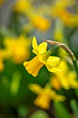 LITTLE MALVERN COURT, WORCESTERSHIRE: PLANT PORTRAIT OF YELLOW FLOWERS OF NARCISSUS TETE - A - TETE, DAFFODILS, BULBS