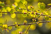 THE PICTON GARDEN AND OLD COURT NURSERIES, WORCESTERSHIRE: PLANT PORTRAIT OF EMERGING FOLIAGE OF CERCIDIPHYLLUM JAPONICUM HERONSWOOD GLOBE, AGM, SPRING, GREEN, LEAVES