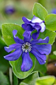 THE PICTON GARDEN AND OLD COURT NURSERIES, WORCESTERSHIRE: BLUE FLOWERS OF HEPATICA X SCHLYTERI ASHWOOD HYBRID, PERENNIALS, SHADE, SHADY, HEPATICAS