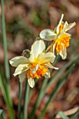 THE PICTON GARDEN AND OLD COURT NURSERIES, WORCESTERSHIRE: PLANT PORTRAIT OF YELLOW, ORANGE FLOWERS OF DAFFODIL, NARCISSUS TWINK, BULBS