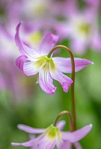 KEW_GARDENS_LONDON_CLOSE_UP_OF_PINK_FLOWERS_OF_DOGS_TOOTH_VIOLET_ERYTHRONIUM_REVOLUTUM_X_CALIFORNICU