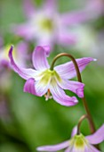 KEW GARDENS, LONDON: CLOSE UP OF PINK FLOWERS OF DOGS TOOTH VIOLET, ERYTHRONIUM REVOLUTUM X CALIFORNICUM CUMBERLAND BEAUTY, BULBS, SHADE, SHADY, WOODLAND, SPRING