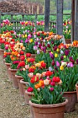 ASTON POTTERY, OXFORDSHIRE: ROWS OF TULIPS IN TERRACOTTA CONTAINERS, GRAVEL, BULBS, SPRING, BLOOMS, BLOOMING, POTS, APRIL