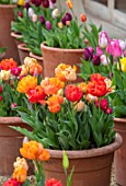 ASTON POTTERY, OXFORDSHIRE: ROWS OF TULIPS IN TERRACOTTA CONTAINERS, GRAVEL, BULBS, SPRING, BLOOMS, BLOOMING, POTS, APRIL, PATIOS, TERRACES
