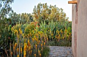 TAROUDANT, MOROCCO: DESIGNERS ARNAUD MAURIERES AND ERIC OSSART: PATH, AGAVES, YELLOW FLOWERED ALOE VERA, HOUSE, APRIL, DRY, ARID, SUCCULENTS