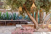 TAROUDANT, MOROCCO: DESIGNERS ARNAUD MAURIERES AND ERIC OSSART: SEATING AREA WITH AGAVES, OLIVE TREE, LIGHTS, ARID, GARDEN, SUCCULENTS