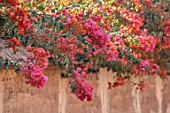 TAROUDANT, MOROCCO: DESIGNERS ARNAUD MAURIERES AND ERIC OSSART: RED, PINK FLOWERS OF BOUIGAINVILLEA OVER MUD WALL. CLIMBERS, ARID, DRY