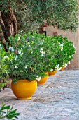 TAROUDANT, MOROCCO: DESIGNERS ARNAUD MAURIERES AND ERIC OSSART: TERRACE, PATIO, YELLOW GLAZED CONTAINERS, WHITE FLOWERS OF OLEANDERS IN ROWS, OLIVES
